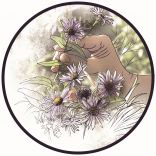 Aster des Pyrenees